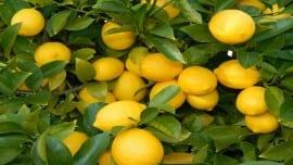 Liberty-Lemons