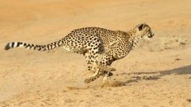 cheetah-running.ngsversion.1396530527499