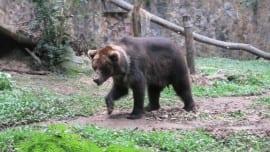 bear arkouda